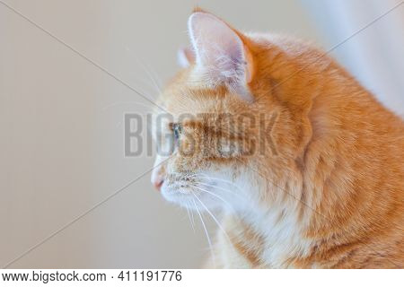 Portrait Of Orange Ginger Cat. Funny Red Cat At Home Atmosphere. Thinking Tabby Ginger Cat. Looking