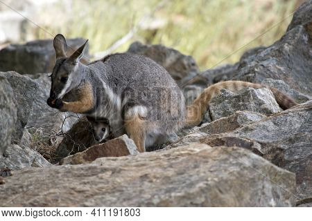 The Yellow Footed Rock Wallaby Is Eating A Carrot