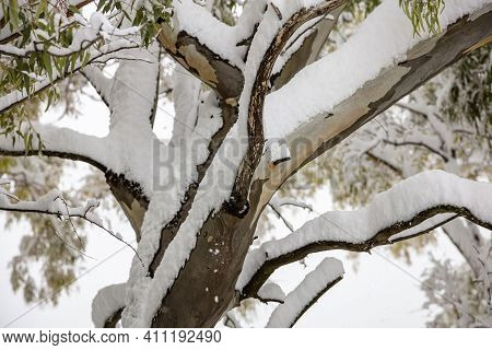 Tree Branches With Green Leaves Covered With Snow Background.