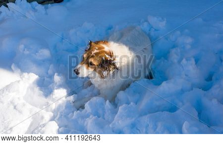 White Brown Dog Of A Greek Shepherd Breed Get Rest On Snowy Background. Portrait Of Mammal, Domestic