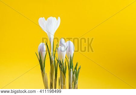Spring White Crocus Flowers On Yellow Background