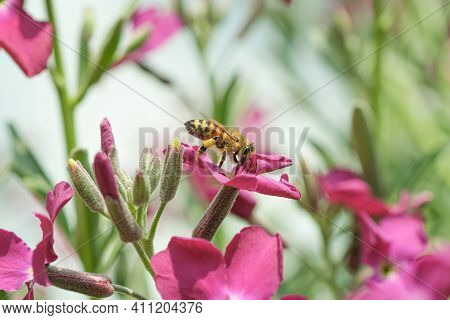 Honey Bee While Collecting Pollen From Spring Violet Flower Head, Animal Insect Pollination