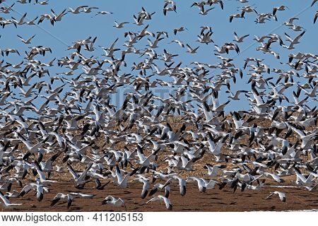 Flock Of Startled Snow Geese Leaving A Corn Field During The Spring Migration At Middle Creek Wildli
