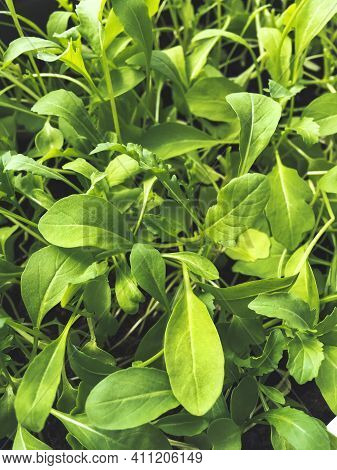 Green Leaves Of Arugula Seedlings. Gardening At Home, Flower Pot With Young Plants On Windowsill.