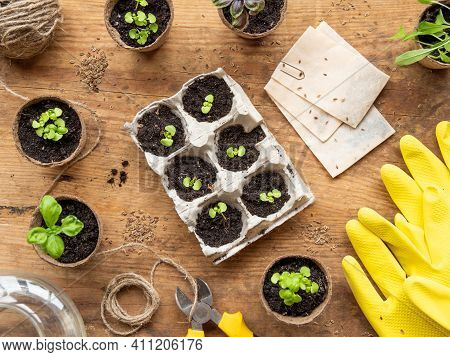 Basil Seedlings In Biodegradable Pots On Wooden Table. Top View On Green Plants In Peat Pots And Agr