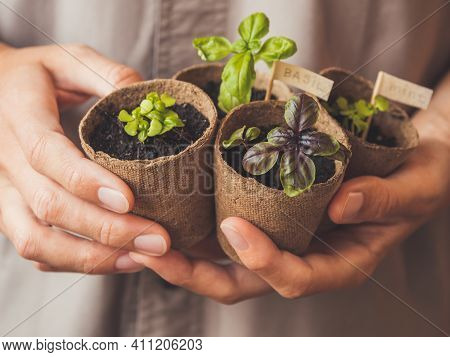 Woman Holds Basil Seedlings In Peat Pots. Spring Sale In Mall And Flower Shops. Season Of Growing Se