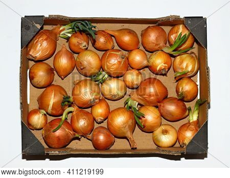 Paper Box With Onions On White Background, Flat Lay. Onion Bulbs In Spring, Some Of Them Are Germina