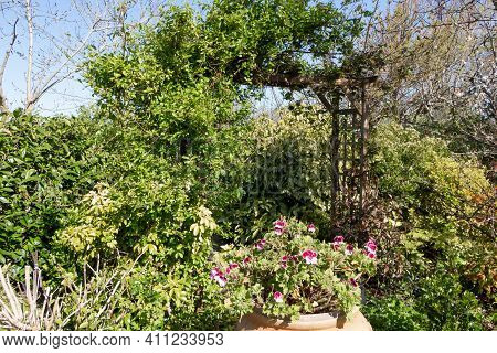 Landscaped Garden With Pergola And Geranium Jar
