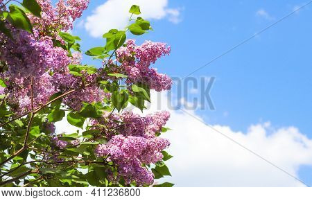 Lilac Tree Flowers. Lilac Blossom On A Blue Sky Background. Spring Season, Beautiful Flowers In Sunn