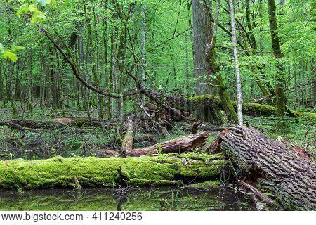 Moss Wraped Oak Trees Lying In Water