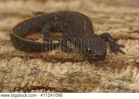 Full Body Closeup On A Terrestrial Juvenile Of The Antalolian Crested Newt, Triturus Anatolicus
