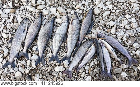 Catch Of Siberian Whitefish And Grayling On Shore Rocks. Whitefish-pyzhyan And Siberian Grayling Lie