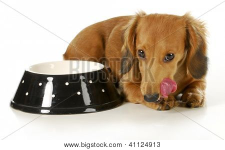feeding the dog - miniature dachshund licking lips after eating isolated on white background