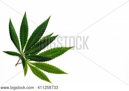 Cannabis Is A Standoff Between A Drug And A Medicine. Green Background Of Leaves.close-up Young Hemp
