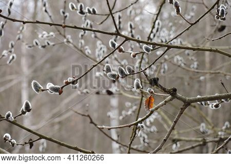 Blooming Willow. Delicate Inflorescences On Bush Branches In A Damp Forest In Early Spring. March, T