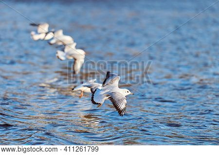 Seagulls Flying Over Water. Close Up View Of Hovering White Birds On Natural Blue Water Background.