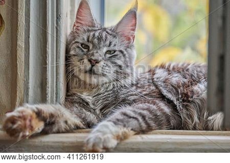 Silver White Marble Maine Coon Cat On Windowsill. Funny Adult Maine Coon Purebred Cat.