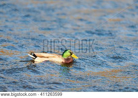 Male Mallard Waterfowl Bird Dabbling In Pond Or River. Close Up Of Anas Platyrhynchos, Drake Mallard
