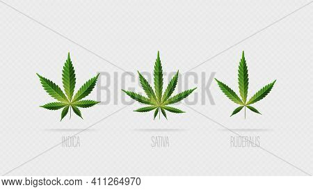 Realistic Vector Green Leaves Of Cannabis. Set Of Cannabis Leafs, Sativa, Indica And Ruderalis Isola