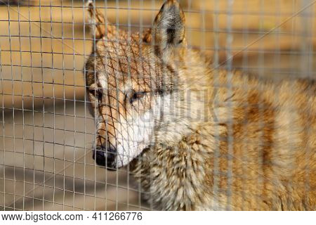 Wolf Behind Bars At The Zoo Animal In Captivity