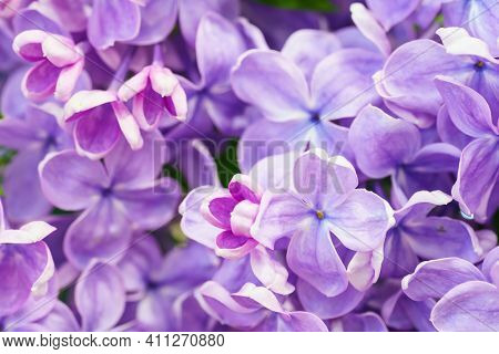 Macro Image Of Lilac Flowers. Abstract Floral Background