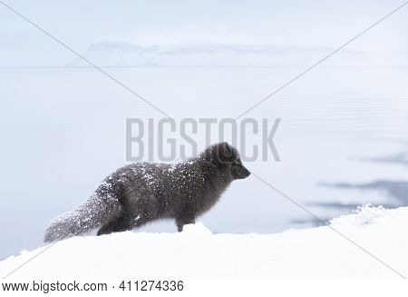 Close Up Of An Arctic Fox Standing In Snow On The Coasts Of Iceland.