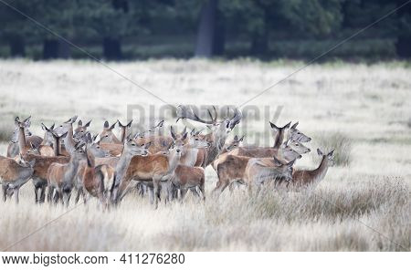 Close Up Of A Red Deer Stag Calling In Front Of Group Of Hinds During Rutting Season In Autumn.