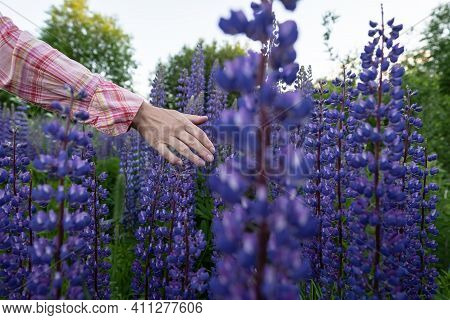 A Woman Hand Touches Beautiful Flowering Lupinus. Evening Walk Through The Village Meadows. Magnific