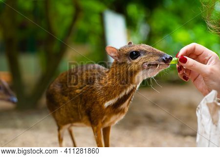 Kanchil Is An Amazing Cute Baby Deer From The Tropics. The Mouse Deer Is One Of The Most Unusual Ani