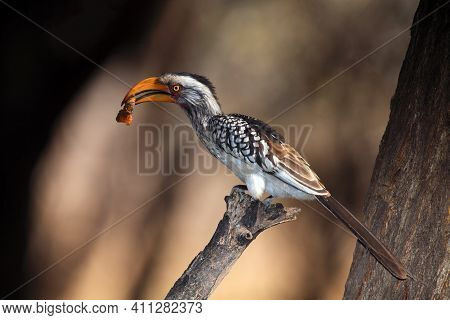 The Southern Yellow-billed Hornbill (tockus Leucomelas) On The Branch With Brown Background.african