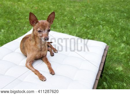 Small Dog Breed Russian Toy-terrier On The Nature