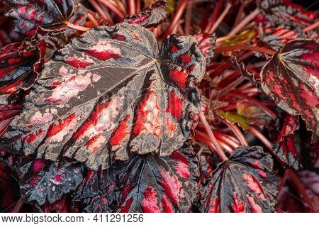Close-up Of Red-black Royal Begonia Rex Plant. Macro Photography Of Lively Nature.