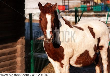 A Pregnant Horse, Whose Horse Is Waiting For A Foal. The Baby Is Going To Give Birth Soon. White Wit