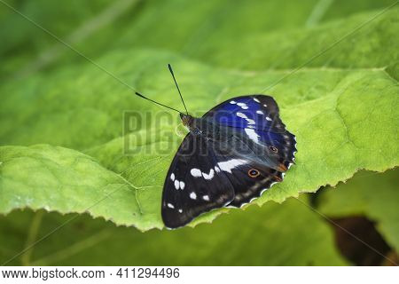 Apatura Iris, The Purple Emperor, Is A Palearctic Butterfly Of The Family Nymphalidae. , An Intresti