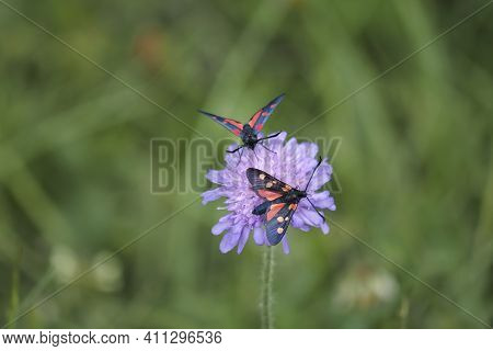 The Burnet Species (zygaena Spec.) Or Maybe Called Forester Moths , An Intresting Photo