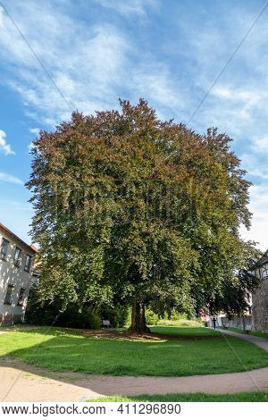 Giant Tree In A Park Of The City Schmalkalden, Thuringia