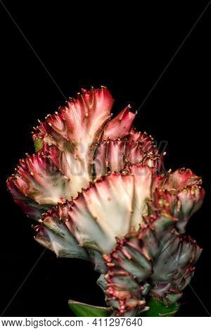 Close-up Of Red-green Euphorbia Lactea Cristata Succulent Plant On The Black Background. Macro Photo