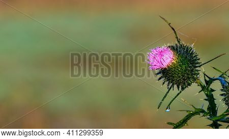 Blooming Welted Thistle (carduus) Flower Covered In Water Droplets. Blurred Yellow Grassland In The
