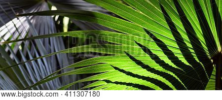 Sunlight And Shadow On Cabbage Tree Palm Leaves, Livistona Australis, In Temperate Rainforest In Syd
