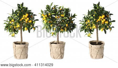 Set Of Kumquat Trees With Fruits In Flowerpots On White Background. Banner Design