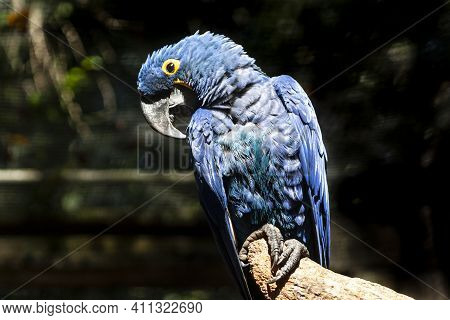 Blue Macaw Or Hyacinth Macaw (anodorhynchus Hyacinthinus) Perching On A Branch In Brazil