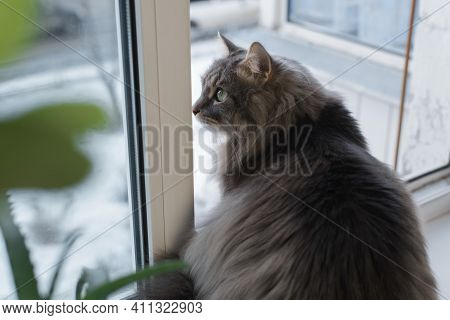 Gray Fat Cat Sitting On The Windowsill Indoors. Curious Siberian Cat Looking At The Street, Close-up