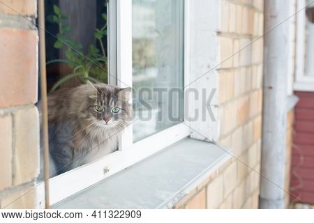Gray Fluffy Cat Sitting On The Windowsill Outside. Curious Siberian Cat Looking At The Camera.