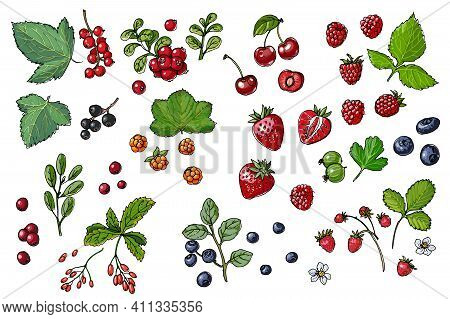 Berries And Leaves. Wild Berries Painted Line On A White Background. Cranberry, Cranberries, Currant