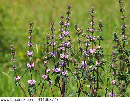 Jerusalem Sage Blooming Plant In Summer, Phlomis Tuberosa