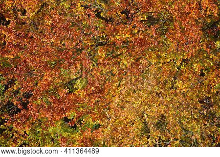 Breathtaking View Of The Colorful Red, Orange And Yellow Beech Trees In The Nachtegalen Park On A Su