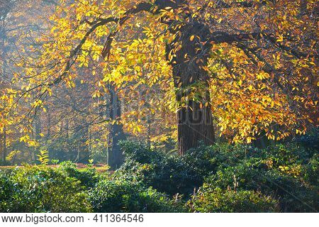 The Tall Ancient Golden Beech Trees In The Nachtegalen Park. Sun Rays Through The Tree Trunks. Color