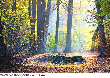 Tall Ancient Golden Beech Trees In The Nachtegalen Park. Stump Close-up. Sun Rays Through The Tree T