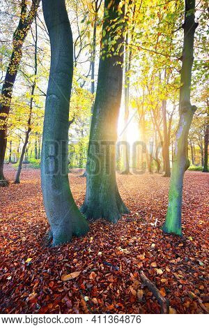 Close-up View Of The Tall Ancient Golden Beech Trees In The Nachtegalen Park. Sun Rays Through The T