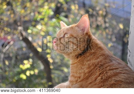 A Red Cat Sits On A Window And Looks Out The Window. Curious Cat. Beautiful Red Cat. Cat In The Sun.
